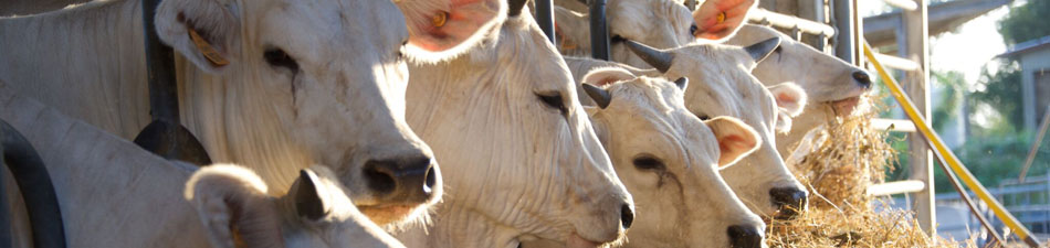 mucche-chianine